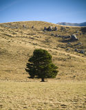 Lone Tree. A lone green tree on an otherwise barren and heat parched hillside stock photos