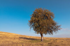 Lone tree. Lonely wild pear already yellow meadow in late summer, early fall Royalty Free Stock Photo