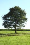 Lone tree. Of single tree, with blue sky background stock photography
