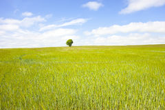 Lone Tree. Distant tree in full leaf standing at the back of a field of corn in early summer Stock Photos