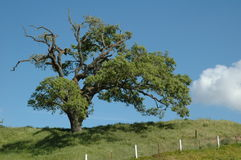 Lone Tree. Tree on a hill with fence royalty free stock photo