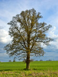 Lone Tree. A beautiful lone English oak tree in springtime against a dramatic sky Stock Photography