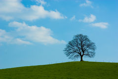 Lone tree. Dominant tree maple on horizon against blue heavens Stock Photo