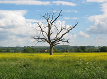 Lone Tree. Tree standing along in the middle of a meadow (Olbury, Gloucestershire Stock Photos