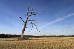 Lone tree. A single bare tree on a field Royalty Free Stock Photos