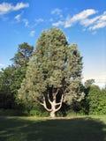 lone tree Arkivfoto