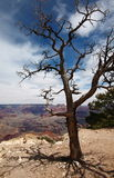 Lone tree. In front of Grand Canyon Royalty Free Stock Photography