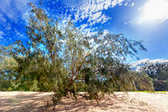 Lone tree in Australian outback on a hot day with willowy branch Stock Photos