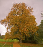 Lone tree in autumn colours royalty free stock photography