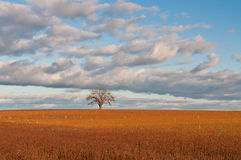 Lone Tree in Autumn Field. A lone tree stands in a deep golden field in autumn Royalty Free Stock Photos