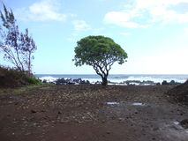 Lone Tree on the beach royalty free stock image