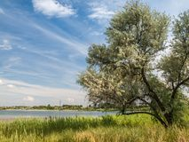 Lone tree with branches covered with thick foliage in the field. On river and cloudy blue sky background at summer day Stock Photography