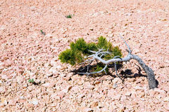 Lone Tree in Bryce Canyon. A struggling tree growing in Bryce Canyon, Utah Stock Photography