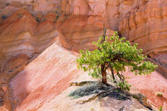 Lone Tree in Bryce Canyon Royalty Free Stock Photo