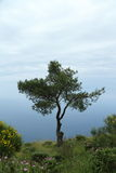 Lone Tree of Capri Royalty Free Stock Photos