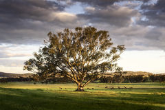 A lone tree catches the afternoon sun in a field of cows in the mid west of New South Wales, Australia. Stock Image