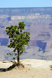 Lone Tree on a Cliff. Solitary Desert Christmas Tree on edge of Pipe Creek Vista in the Grand Canyon national park Royalty Free Stock Images