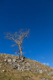 Lone tree clinging to the hillside against a clear blue sky. Tree taken in the Yorkshire Dales in mid-Winter against a pure blue sky Royalty Free Stock Photos