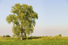 Lone tree in a cob field Royalty Free Stock Image