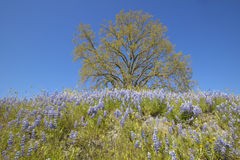 Lone tree and colorful bouquet of spring flowers and purple lupine blossoming off Route 58 on Shell Creek road, West of Bakersfiel Royalty Free Stock Image