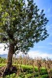 Lone tree in corn & bean field, Guatemala. Lone tree in corn & bean field in morning light,  Guatemala, Central America Royalty Free Stock Photo