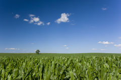 Lone tree in corn field Royalty Free Stock Photos