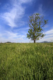 Lone tree in countryside field. Scenic view of lone tree in green countryside field with blue sky and cloudscape background Royalty Free Stock Images