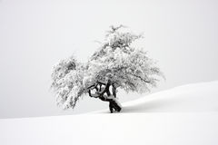 LONE TREE COVERED WITH SNOW Stock Images