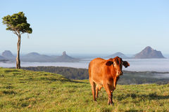 Lone Tree with Cow Royalty Free Stock Images