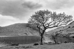 Lone tree at Crummock Water. Mono image of a single tree by the edge of Crummock Water in the Lake District, Cumbria UK, with hills in the back ground and Royalty Free Stock Photo