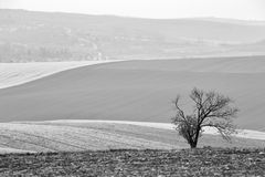 Lone tree in Czech Moravia hills. Arable lands in spring Royalty Free Stock Photography