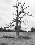 Dead tree black and white. Lone tree, dead, looking worse for wear in a field all alone Stock Photos