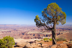 Lone Tree in Desert Landscape. A lone tree stands in the desert landscape with canyons below Stock Photos
