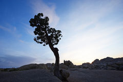 lone tree in desert Stock Photography