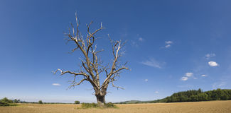 Lone tree in dry landscape. Stock Image