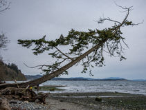 Lone tree fallen across beach Stock Photography
