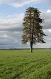 A lone tree in a farm field. A lone tree stands tall in the middle of a farm field Stock Images
