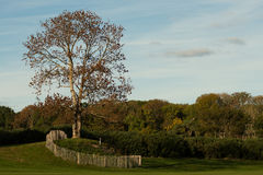 Lone tree with a fence in a golf course. Golf course scene in warm sunset light Royalty Free Stock Images