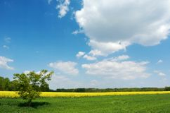 Lone tree in a field. A lone tree in a green field under beautiful summer sky with white clouds, yellow colza field and a group of trees in the background Royalty Free Stock Photography