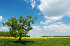 Lone tree in a field. A lone tree in a green field under beautiful summer sky with white clouds, yellow colza field and a group of trees in the background Stock Images