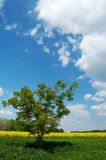 Lone tree in a field. A lone tree in a green field under beautiful summer sky with white clouds, yellow colza field and a group of trees in the background Stock Photography