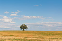 Lone Tree in a Field. A lone tree stands in a farm field in summer with blue sky and white clouds in the background Stock Image