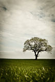 Lone tree in field. A large lone tree on the horizon in a farm field against a cloudy sky Stock Image