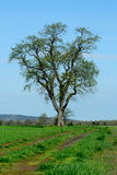 Lone tree in a field. A Lone tree in a field Stock Images