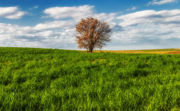 Lone tree in the field. A tree with a deep blue sky and a green field Stock Image