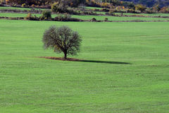 Lone Tree in the Field. Lone bare tree in the stubble field Stock Photo