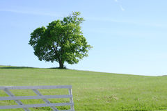Lone Tree in Field. Lone tree in an open field, with a fence Royalty Free Stock Image