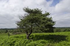 Lone Tree. A lone Tree in a field in England Royalty Free Stock Photos
