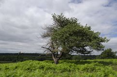 Lone Tree. A lone Tree in a field in England Stock Image