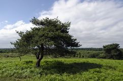 Lone Tree. A lone Tree in a field in England Stock Images